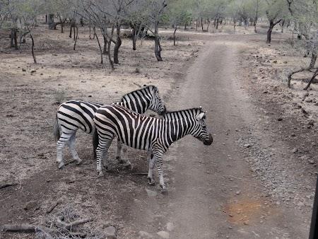 Photo safari Mauritius: Zebre in Casela Park
