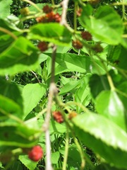 mulberry tree berries1