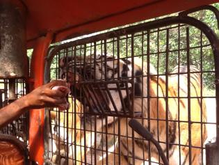 Zoobic tigers