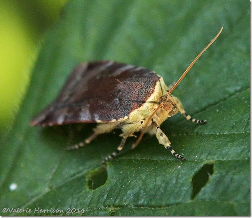 Lesser-Broad-bordered-yellow-underwing-2