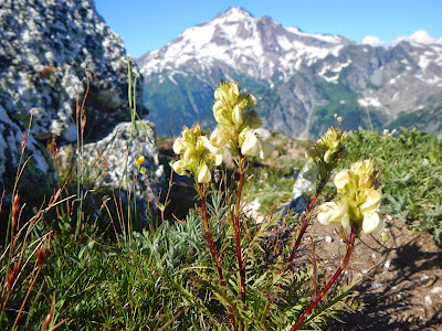 lousewort glacier.JPG