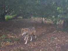 2013.10.26-024 loup