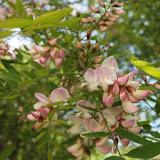 Robinia hispida - Robinier