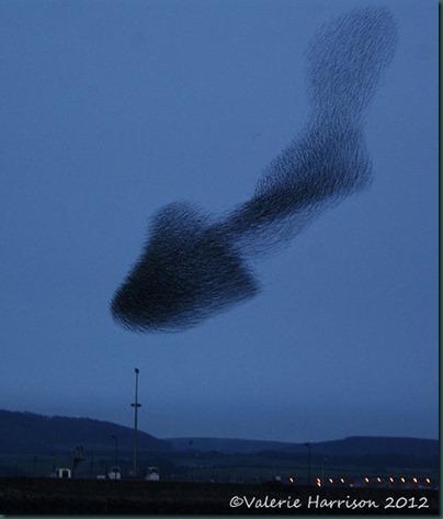 starlings-6