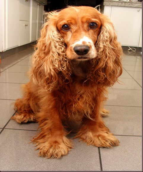 Amazing Animals Pictures Cocker Spaniel (8)