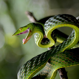 green vine by Raghuram Hg - Animals Reptiles ( raghuram, macro, india, western, snakes, karnataka, photography, animal )