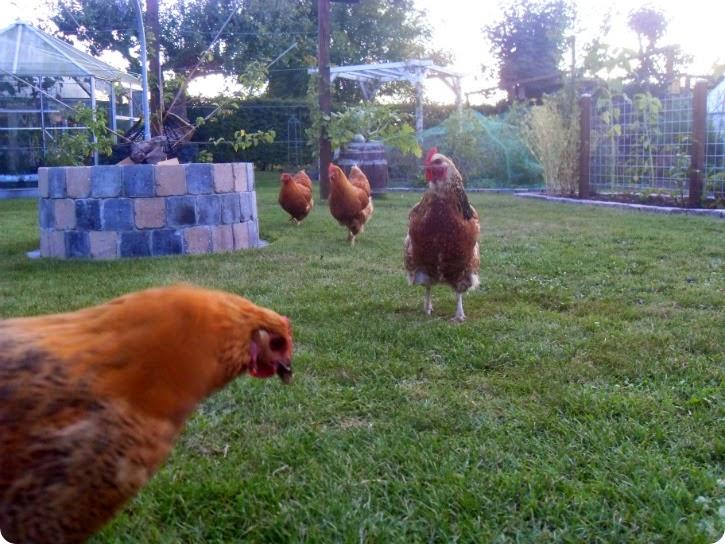 Hønsene i Anjas have
