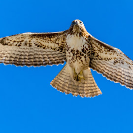 Falcon 3 by Rich Roper - Novices Only Wildlife (  )