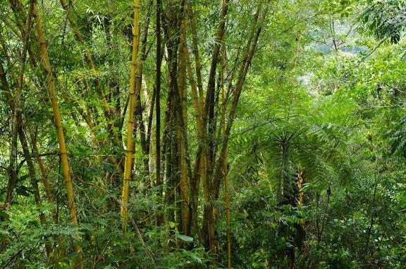 Bosquet de bambous. Caçandoca (Ubatuba, SP). 12 février 2012. Photo : J.-M. Gayman