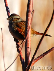 4. Swamp sparrow at bog-kab