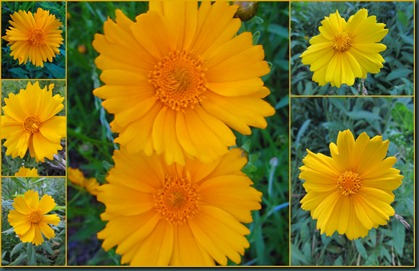coreopsis collage0608
