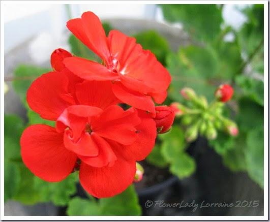 01-20 geraniumsjpg