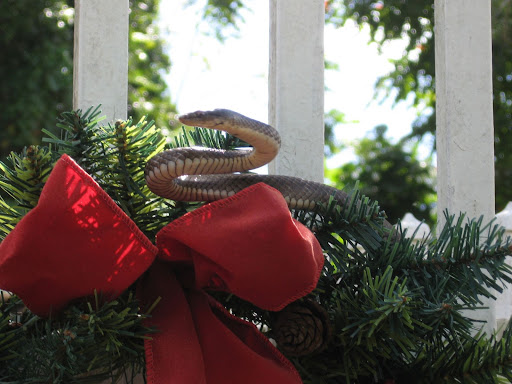 A Christmas Snake...totally harmless but daunting none the less.