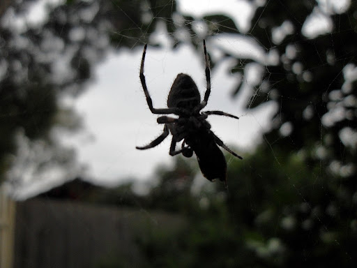 A friendly garden spider