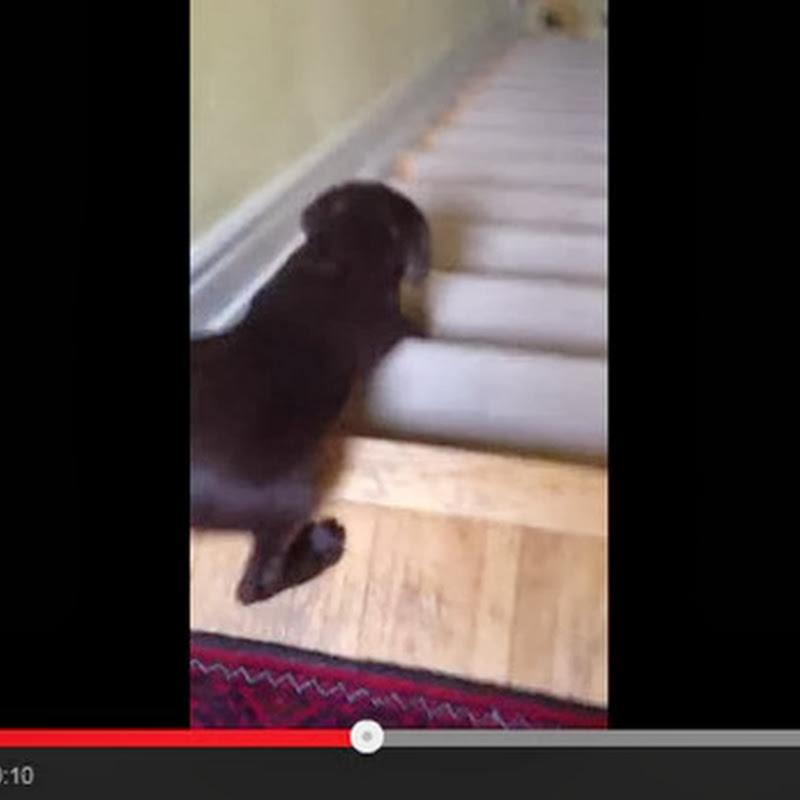 Κουτάβι κατεβαίνει τη σκάλα