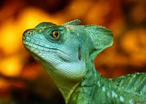Amazing Pictures of Animals, Photo, Nature, Incredibel, Funny, Zoo, Common basilisk, Basiliscus basiliscus, Reptil, Alex (17)