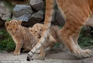 Amazing Pictures of Animals, photo, Nature, exotic, funny, incredibel, Zoo, Liger, Hybrid, Alex (7)