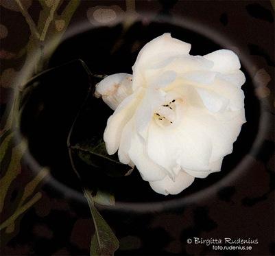 blom_20111208_winterrose