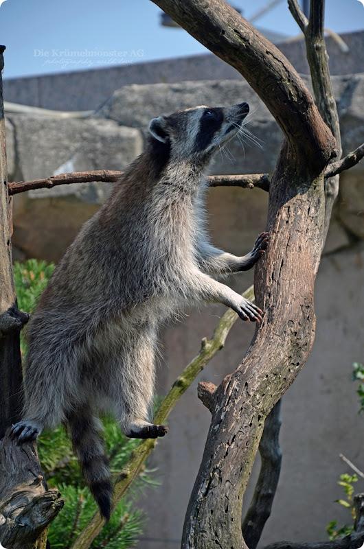 Wremen 29.07.14 Zoo am Meer Bremerhaven 57 Waschbären
