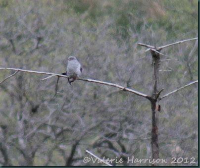 44-cuckoo