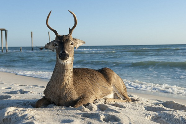 Deer Lounging at Inlet Beach