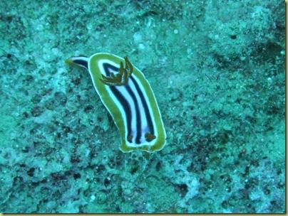 EM Nudibranc Chromodoris annae