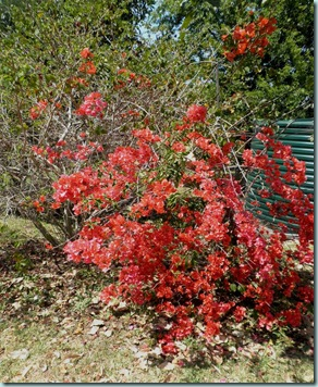 Orange Bouganvillea