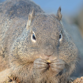 Hair In My Food, Never! by Ed Hanson - Animals Other ( nature, gray, close-up, squirrel )