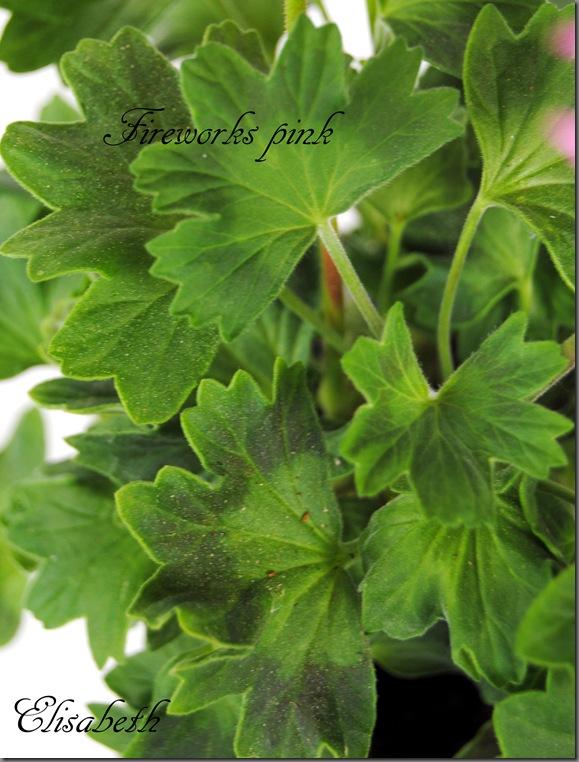 Pelargonium juni-11 067