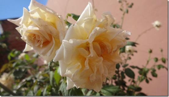 flor-flores-rosas-imagens110