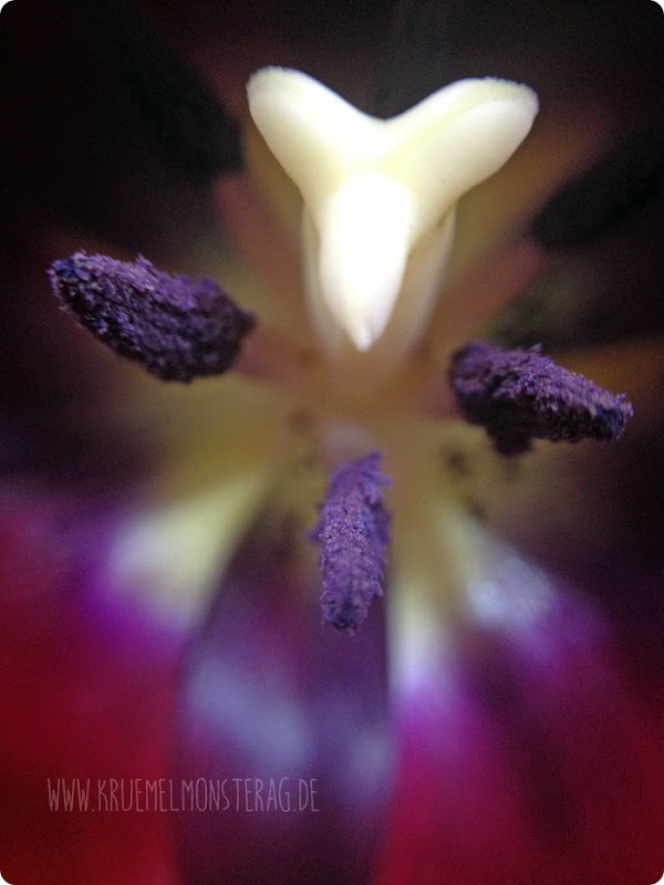 gefüllte dunkelrosa Tulpe (01)