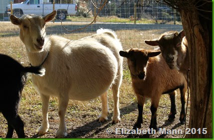 24-group of goats