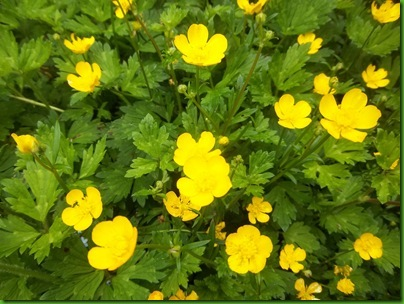 014  Creeping Buttercup