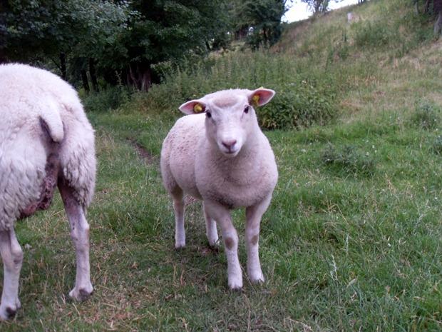 mæ, siger det lille lam