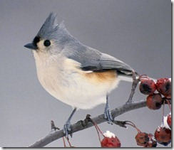 Tufted-Titmouse-animals-29861521-1254-1081