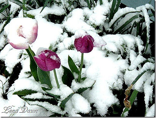 Snowy_Tulips_2005