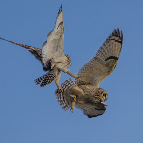 Owls locked by Eddie Murdock - Animals Birds ( flying, short eared owls, nikon, birds, owls, bird, fly, flight )