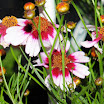 Coreopsis_sweetDream_2.jpg