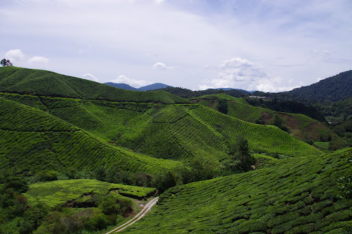 Rolling carpets of green tea plants covering the hills.