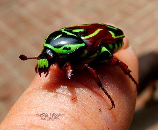 Amazing Pictures of Animals, Photo, Nature, Incredibel, Funny, Zoo, Eupoecila australasiae, fiddler beetle or rose chafer, Insecta, Alex (28)