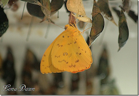 FPC_Butterfly_Yellow
