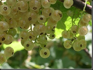 white currants 2