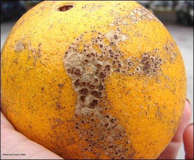 11 penyakit yang sering menyerang diperkebunan jeruk diantaranya :