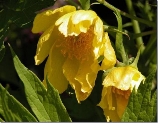 Paeonia-lutea-var-ludlowii-deux-fleurs-Medium-