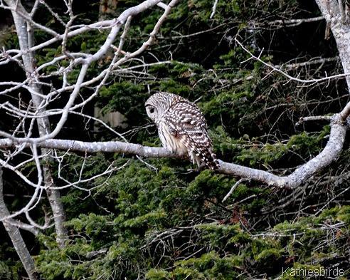 5. Barred owl-kab