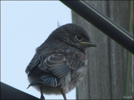 Newly fledged baby Bluebird