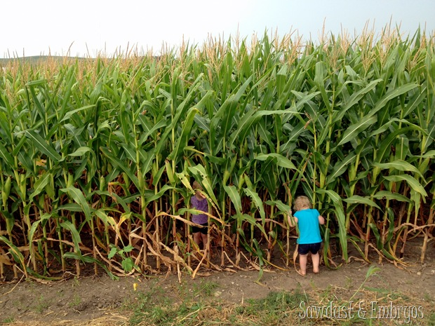 Introduction to an Iowa cornfield {Sawdust and Embryos}