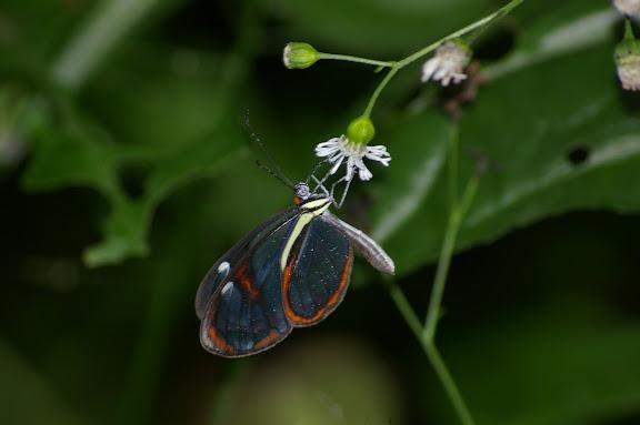 Ithomiinae : Ithomia agnosia HEWITSON, 1855. Caçandoca (Ubatuba, SP), 15 février 2011. Photo : J.-M. Gayman