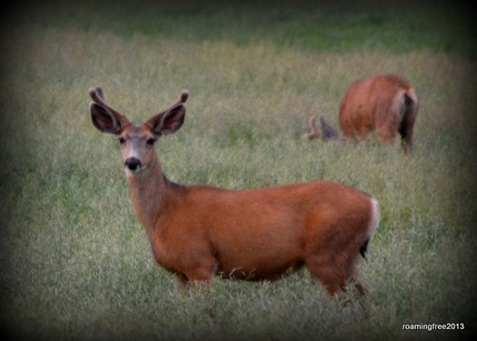 Deer in the alfalfa
