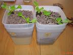2 week summer crisp lettuce - splasher left, pure passive coir/growstone right - pretty similar despite setbacks on coir side (root loss in transplant, extreme algae greening on top, cleaned off yesterday)